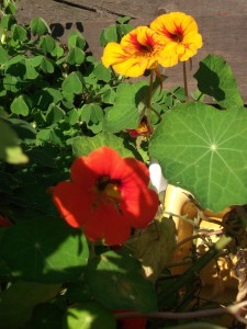 Nasturtium flowers ~ October 2015